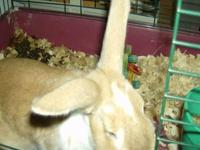 Flemish Giant - Coco - Large - Young - Male - Rabbit
