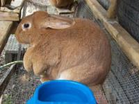 Flemish Giant - Flemish - Large - Adult - Female -