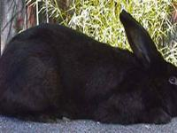 I am looking to purchase either a Flemish giant, New