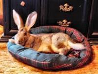 Flemish giant rabbit was given to me to take care of by