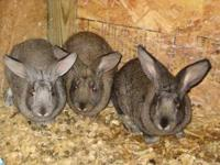 We have 8 week old baby bunny flemish giants. We have 2