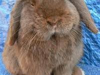 I have one male Flemish Giant rabbit that will be ready