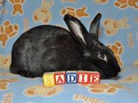 Flemish Giant - Sadie - Large - Young - Female -