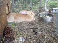 I have 1 show quailty fawn flemish giant buck (male)