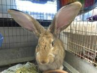 Flemish Giant - Walter - Large - Young - Male - Rabbit
