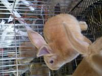 Fawn flemish giants from a fawn to fawn breeding. 8