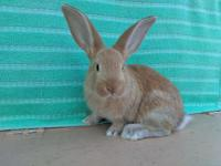 Flemish giants rabbit pure not mix great pets will be