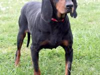 Fleur is a lovely Black and Tan Coonhound girl that was