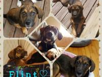 Flint is a 14 week old Shepard/Hound mix and 25lbs