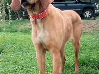 Flip Flop is a Bloodhound/Redbone mix pup that acts and