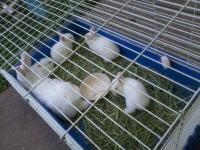 White Floppy Eared Bunnies $10 Each Very well fed and