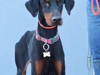 Florence is a 2 year old female Doberman who has been