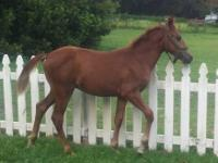 COLT FLORIDA CRACKER HORSE PONY, HEALTHY THREE YEAR