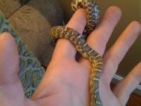 Beautiful king snake. still a juvenile. comes with a 10