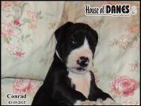 One handsome boy from a litter of 14 Great Dane puppies