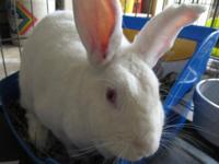 Florida White - George - Large - Adult - Male - Rabbit