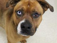 Handsome Floyd is a four year old boxer mix who