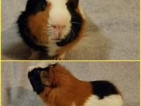 Floyd is an adult male American Crested Guinea Pig.