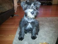 This two beautiful 100%miniature schnauzers all black