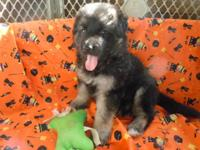 Beautiful Long Coat AKC German Shepherd puppies. We
