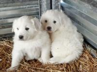 I have 3 male CKC signed up Great Pyrenees puppies for