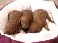 We have 4 male very cute and fluffy Toy Poodles. 3 are