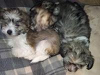 Fluffy Chinese crested young puppies 3 ladies and 4