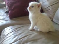 Beautiful baby Himalayan kittens from parents that are