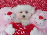 Cute and fluffy little Malti-Poo puppy is all set for