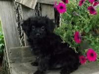 Cute little Morkie-Poo male puppy is waiting for his