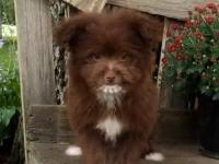 Cute and fluffy little Pom-Poo puppies are ready for
