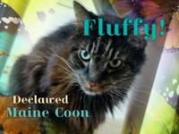 Fluffy, a beautiful neutered male, born around 2008.