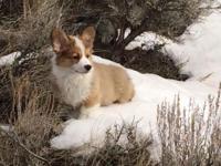 I have a lovely guy Pembroke Welsh Corgi young puppy