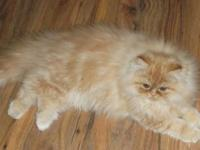 we have 3 champion bloodline persian kittens 1 red