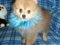 Super fluffy and cute Pomeranian puppies. One male is a
