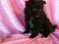 Three gorgeous Pomeranians. 2 black female, 1 sable