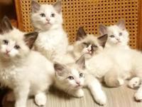 Adorable Ragdoll kittens born 3/31/15 ready for loving