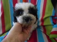 We have two Shih Tzu Poodle puppies for sale. They are