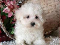 Amazing fluffy white Malshi girl with lots of love to