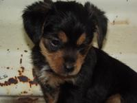 yorkie -poo female her dob-june 27 she will be 8 weeks