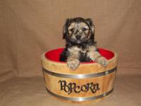 very fluffy yorkie-poo male his Dob Jan 30 he will be 8