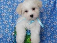 Fluffy and charming little Malti-Poo young puppies are