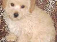 Cute tiny Morkie-Poo puppy is waiting for his forever