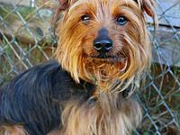 Flynn's story Flynn Male Yorkshire Terrier 6 years