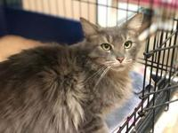 FLYNN's story FLYNN - A089090 is a male, gray tabby and
