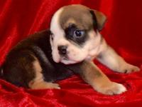 Fonzy is a fawn sable male English Bulldog puppy with