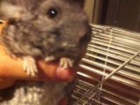 2 Female Chinchillas in good health. Very active and