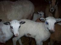 For Sale: Painted Desert lambs BEAUTIFUL LAMBS, EWES