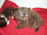 For Sale:Himmies,Flames,Seals,1 black Persian