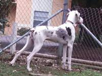 I have unaltered merlequin great dane puppy with